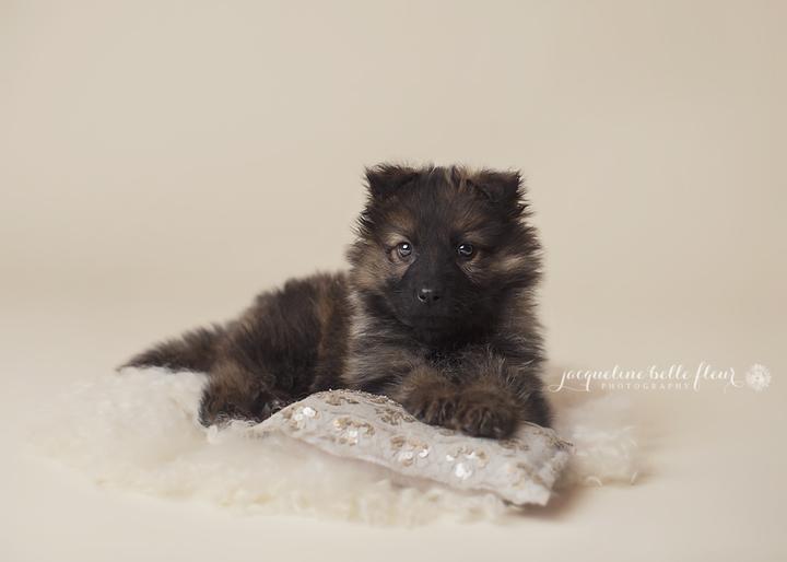 Puppy! Introducing our Long Coat German Shepherd